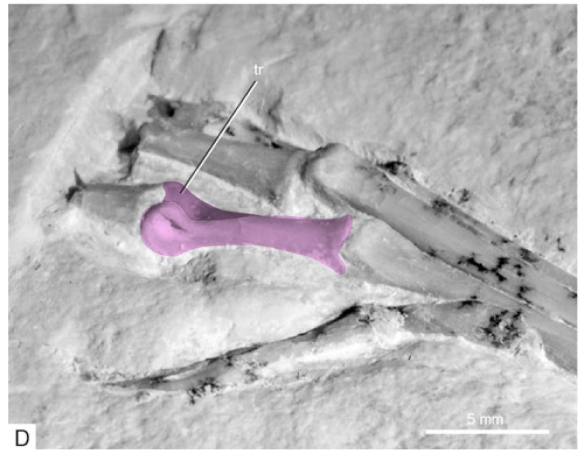 Figure 3. Archaeopteryx Thermopolis pedal digit 2 (in pink). Pedal 2.2 was capable of hyperextension (see figure 4).