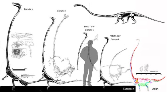 Figure 3. The large Tanystropheus specimens to scale. On the right the new China specimen has large girdles, larger vertebrae, more robust ribs and shorter toes, among the more visible distinctions. Click to enlarge. Above right is the new M. Witton reconstruction with erect limbs, an overly large scapula, an overly large ilium, lacking an interclavicle and other minor issues.