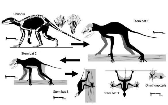 Figure 1. Hypothetical bat ancestors arising from a sister to Chriacus, which may be a large late survivor of a smaller common ancestor.