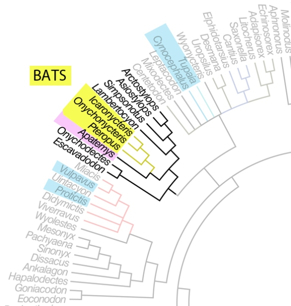 Figure 1. A subset of the Halliday et al. 2015 tree attempting to resolve relationships of placental mammals. Here the proximal outgroup for three bats is Apatemys (figure 2).