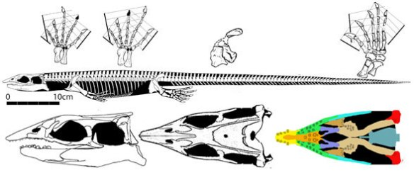 Figure 4. Clarazia, a thalattosaur sister to the new Oregon specimens.