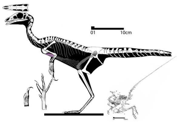 Figure 4. Compsognathus was not preserved with feathers, but with a sister taxon like Microraptor, it might have had substantial feathers.