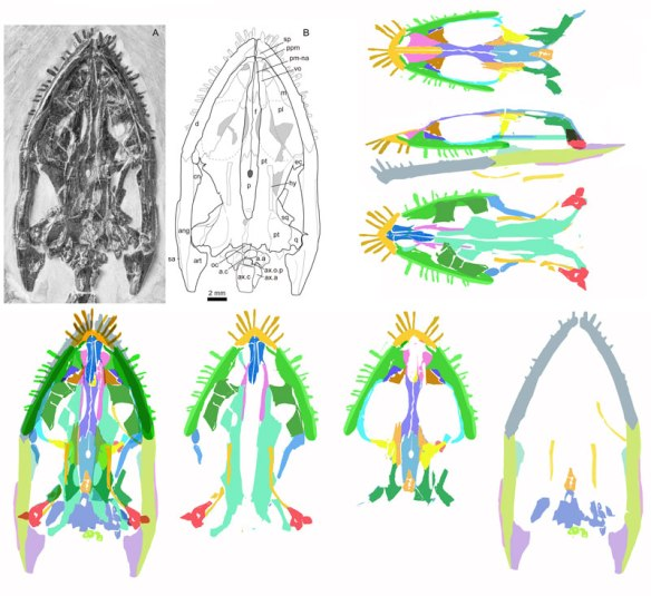 Figure 1. Dianmeisaurus with tracing by Shang and Li 2015 and with tracings using DGS bottom from right to left: mandible and occiput, ventral view of dorsal elements, palatal elements, and at left all combined. Above are reconstructions in dorsal, lateral and palatal views. Note the differences with the original tracing. Click to enlarge.