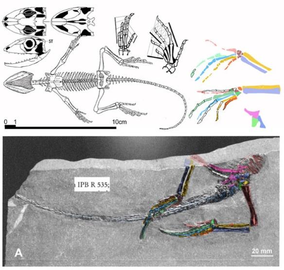 Figure 3. The putative Protorosaurus juvenile (in situ) is actually a large Permian Homoeosaurus.