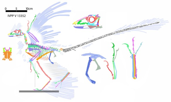 Figure 2. Microraptor gui (IVPP V 13352) reconstructed from tracings in figure 1. There are no surprises here, except a provisional closer relationship with Compsognathus than with Velociraptor. Microraptor has a large pedal claw two, but it is not quite the killing claw seen in droamaeosaurs.