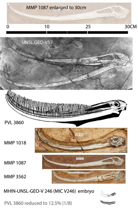 Figure 1. Pterodaustro skulls demonstrating an isometric growth series. One juvenile is scaled to the adult length. One adult is scaled to the embryo skull length. There is no short rostrum and large orbit in the younger specimens.