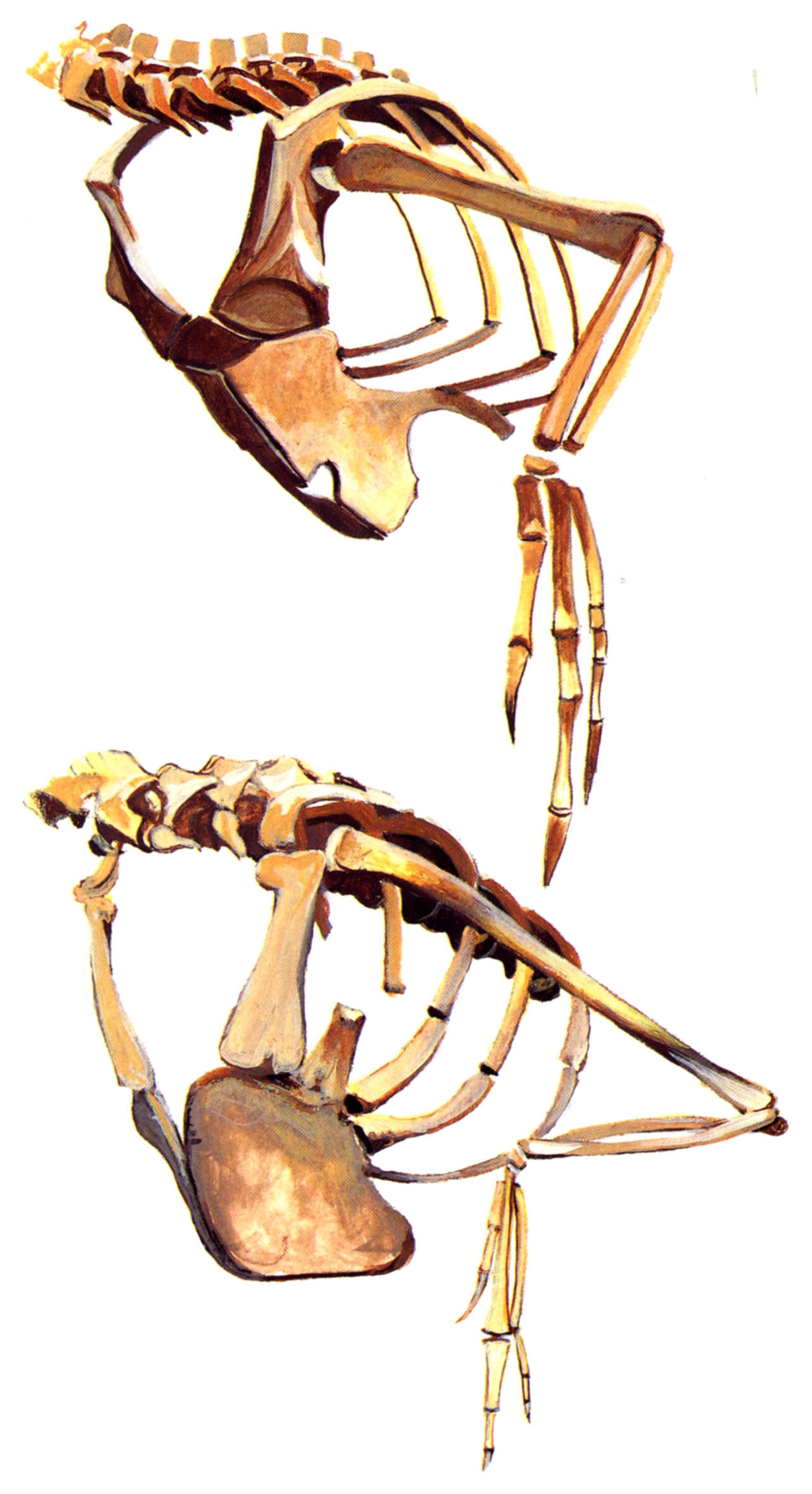 """Figure 1. Partial skeleton of Velociraptor compared to similar bones in the living bird, Rhea americana, photographed from a skeleton I processed several decades ago. This illustration was originally published in Don Lessem's """"Raptors, the Nastiest Dinosaurs."""""""