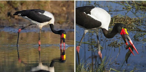 Figure 3. In my opinion this saddle-bill stork wading in water appears to be the bird closest to azhdarchid morphology and, for that matter, niche.