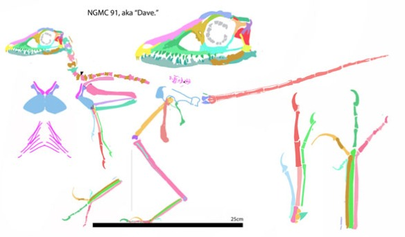 Figure 2. Reconstruction of Sinornithosaurus based on DGS tracing of figure 1. Note the oddly small scapula and coracoid. Ribs and gastralia were omitted from the lateral view.