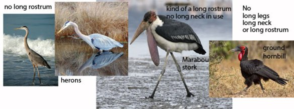 Figure 4. Two herons, a Marabou stork and a ground hornbill, which is of these birds, the least like an azdarchid. Perhaps that is why one was not pictured in Witton and Naish 2015, despite the manuscript.