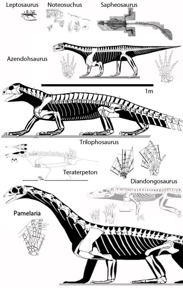 Figure 6. Azendohsaurus compared to sister taxa and putative sister taxa including Trllophosaurus, Pamelaria, Teraterpeton, Sapheosaurus and Leptosaurus. Diandongosaurus is ghosted as it is a tested sister to Teraterpeton. Azendohsaurus nests with Trilophosaurus in both studies. Even so it is quite distinct.