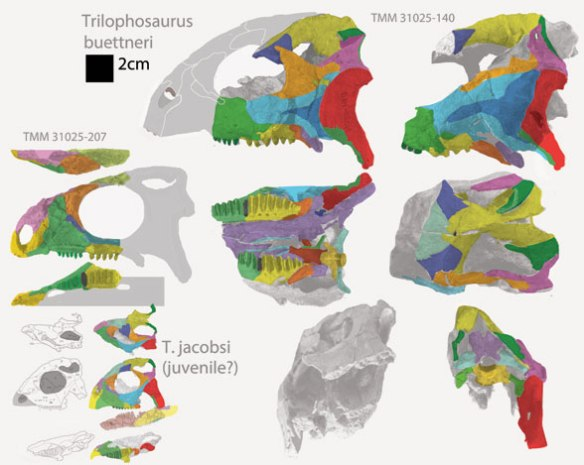 Figure 4. Trilophosaurus skulls. Note the deep jugal on two and the shallow jugal on the third. Also note the postjugal bone, a novel ossification.