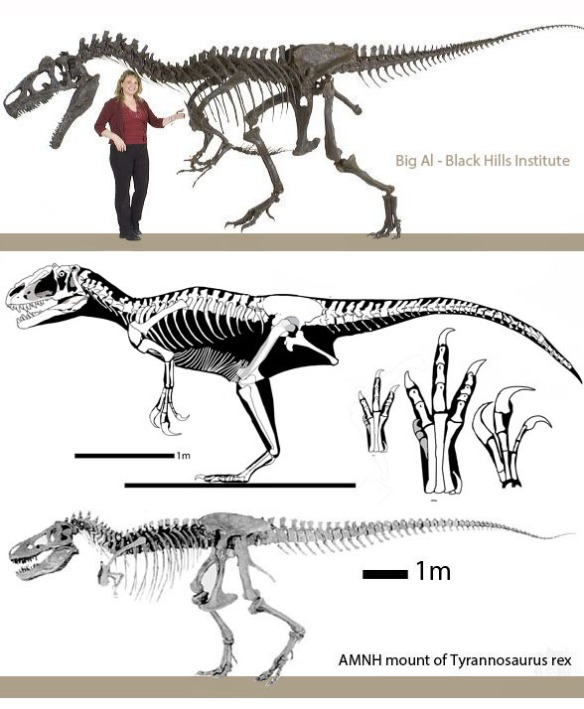 Figure 2. Yutyrannus (middle) compared to Allosaurus (above) and Tyrannosaurus (below). Not to scale. Which one appears to share more traits with Yutyrannus?
