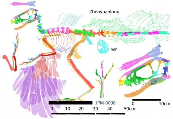 Figure 3. Zhenyuanlong reconstructed in lateral view. Something behind the pelvis could be the remains of an egg, but needs further study. Both sets of wing feathers are superimposed here. Click to enlarge.