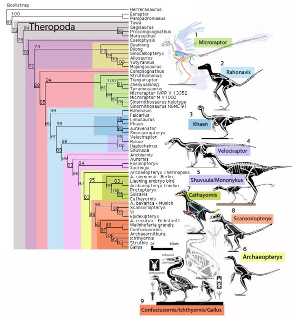Figure 1. Click to enlarge. Here is the subset of the large reptile tree focused on theropods. To the right are the nine taxa that took on bird-like traits.