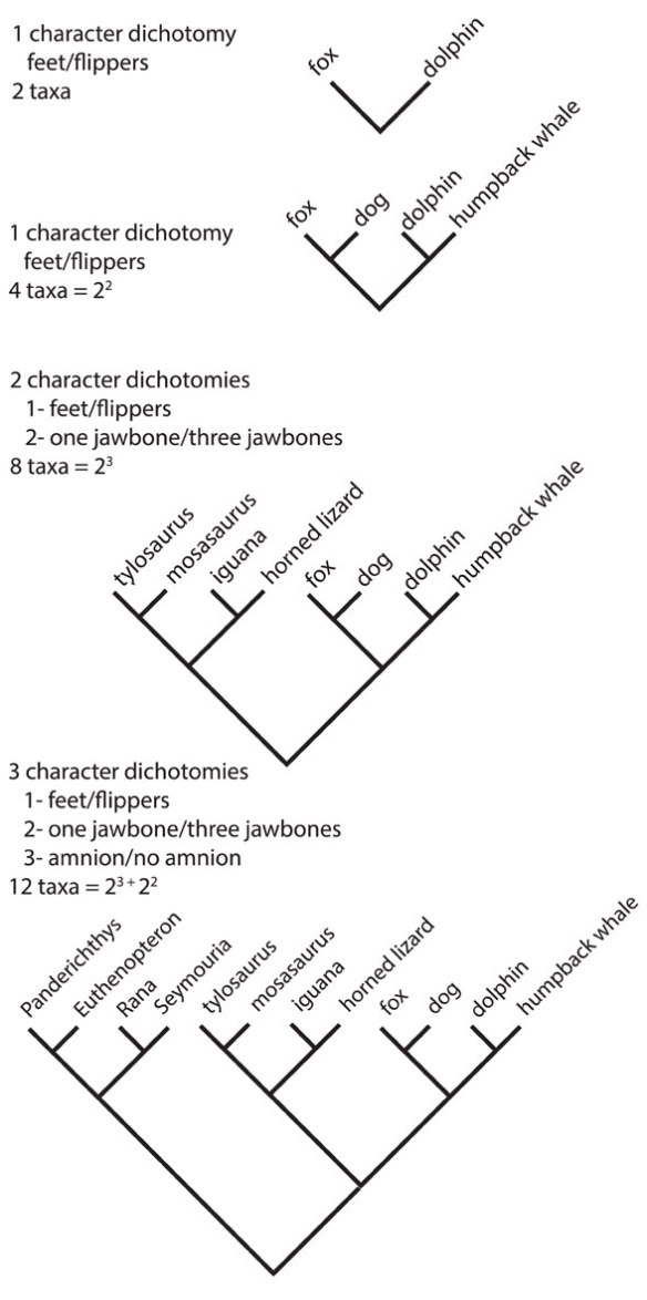 Figure 1. Characters vs. taxa in analyses. Note one character lumps and splits 4 taxa. Two characters lumps and splits 8 taxa. Three characters lumps and splits 12 taxa given the present list of traits.