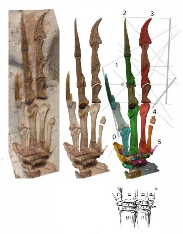 Figure 1. Coelophysis manus with digit 0, as in Limusaurus, medial to digit 1. This image also includes mt5 with phalanges, identified by Colbert as distal carpal 4.