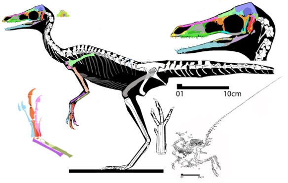 Figure 1. Reconstruction of Compsognathus with revised face, fingers and foot.