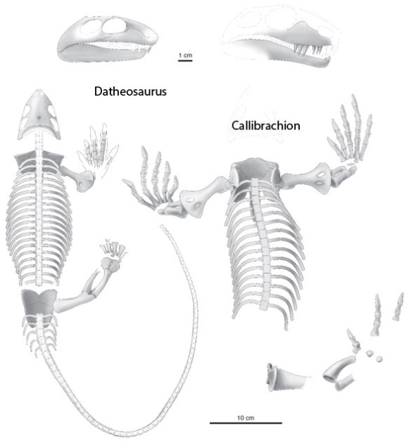 Datheosaurus and Callibrachion, two basal caseasaurs, not synapsids, as all prior authors assert, but derived from millerettids, as the large reptile tree demonstrates. Image from Spindler, Falconnet and Fröbisch 2016