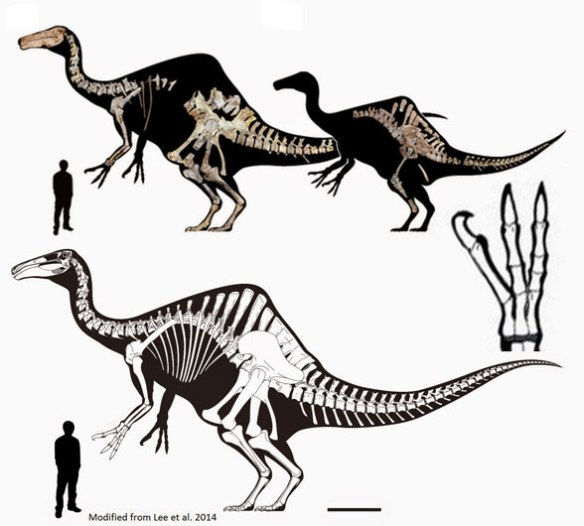 Figure 2. Deinocheirus specimens and a composite illustration.