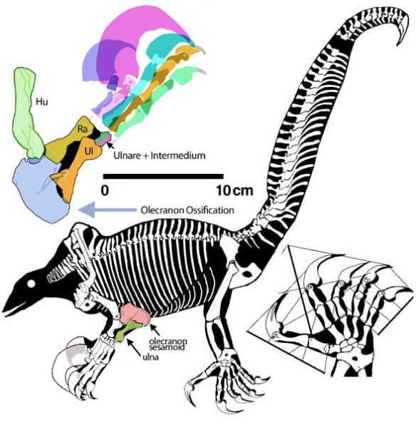 Figure 1. Drepanosaurus featuring fused finger phalanges and a super claw -- among several other odd traits.