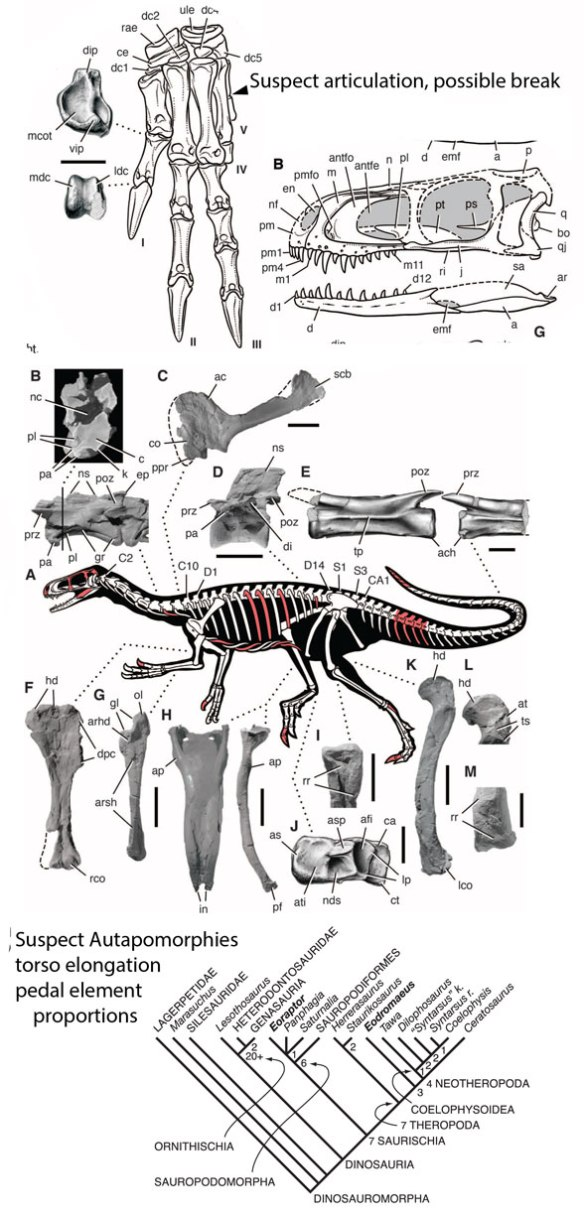 Figure 1. Eodroameus murphi figures from Martinez et al. 2011. From this data the large reptile tree nested this taxon at the base of the Phytodinosauria, next to the Theropoda.