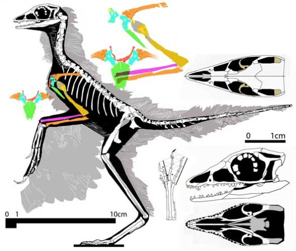Figure 2. Eosinopteryx with new pectoral interpretation. See figure 4 for in situ tracings.