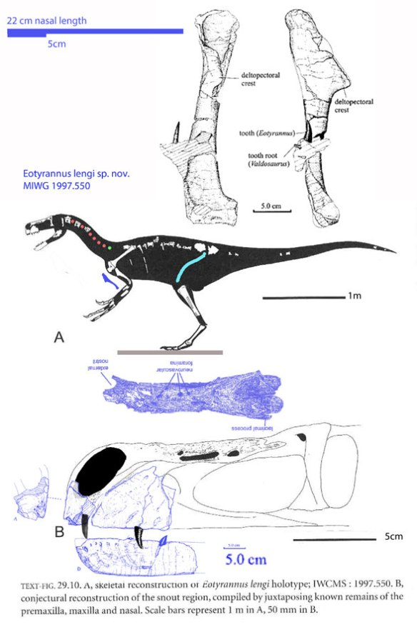 Figure 1. Eotyrannus lengi from images in Hutt et al. 2001 and Naish 2011. The scale bars are all over the place. This taxon seems not to nest with Tyrannosaurus, but with Tanycolagreus.