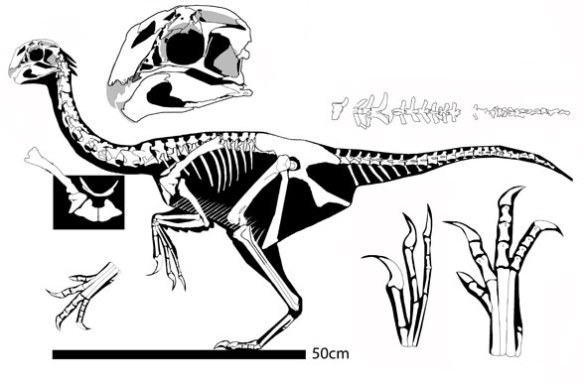 Figure 3. Khaan, an oviraptorid that nests with Limusaurus in the large reptile tree AND the repaired Cau, Brougham and Naish tree.