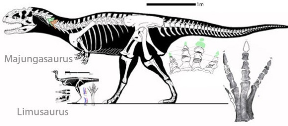 Figure 1. Limusaurus and Majungasaurus to scalel.
