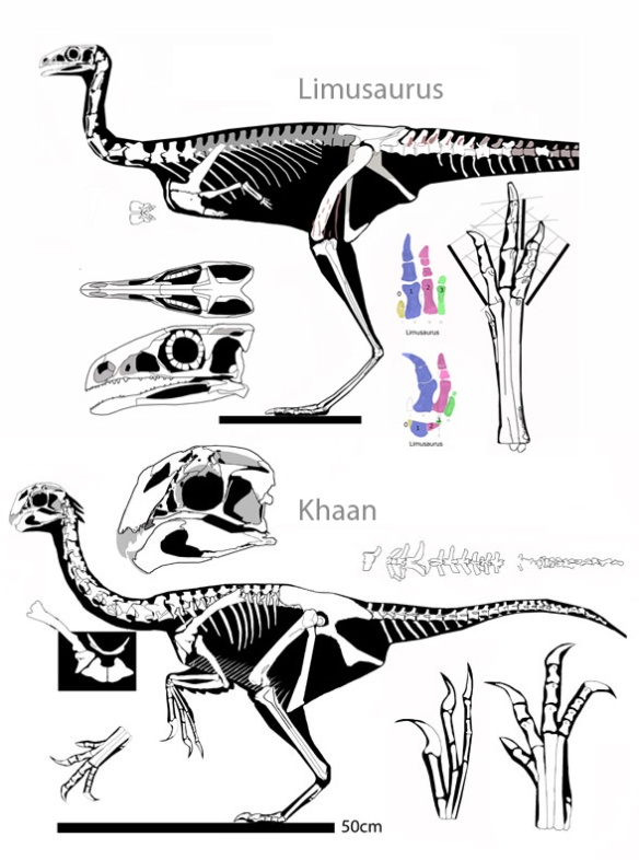 Figure 3. Limusaurus and Khaan compared. Khan is a better match for Limusaurus than Cau et al. 2015 recovered.