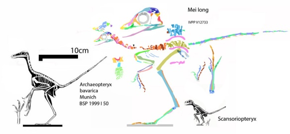 Figure 2. Mei long compared to the BSP 1999 I 50, Munich specimen of Archaeopteryx and Scansoriopteryx to scale. Click to enlarge.