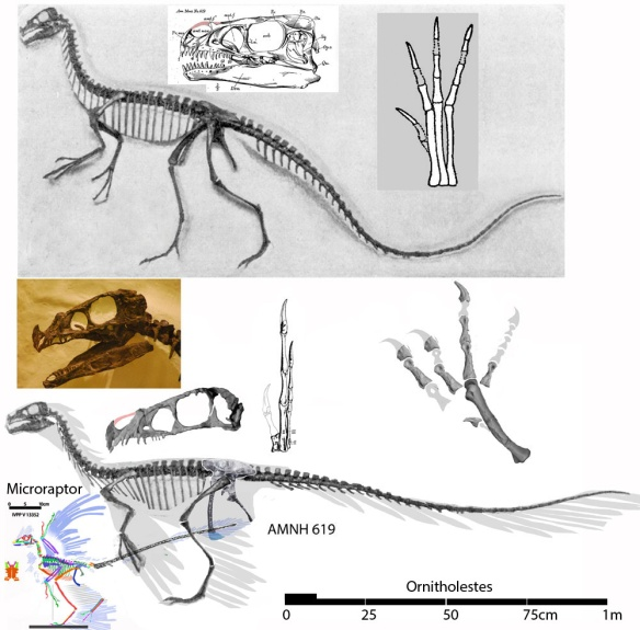 Figure 1. Ornitholestes, as originally mounted by the American Museum and revised together with Microraptor to scale. Click to enlarge.