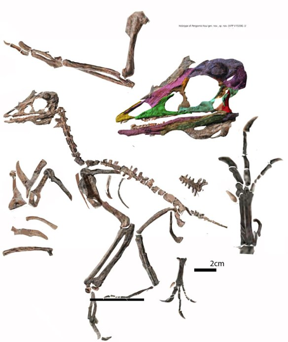 Figure 3. Pengornis reconstructed not from tracing, but from cutting out the bones and putting them back together. Color tracing is used only for the skull elements. This holotype specimen does not have the same morphology or proportions that Chiappeavis has and it nests within the Enantiornithes.