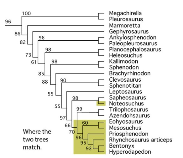 Figure 2. This subset of the large reptile tree nests rhynchosaurs with trilophosaurs and rhynchocephalians, not protorosaurs.