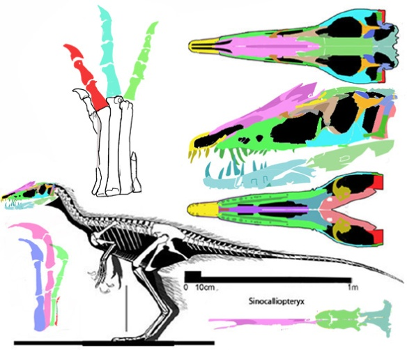 Figure 4. Sinocalliopteryx currently nests as a provisional sister to Deinocheirus, awaiting the discovery of transitional sister taxa.