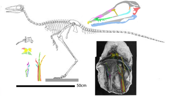 Figure 1. Sinornithoides youngi figure modified from Russell and Dong 1993.