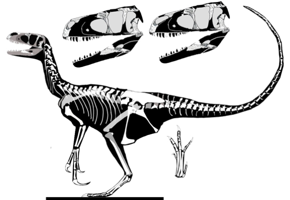 Figure 2. Tanycolagreus nests as a sister to Eotyrannus in the large reptile tree. This appears to be a clade of tyrannosaur mimics at the base of the pre-bird clade.