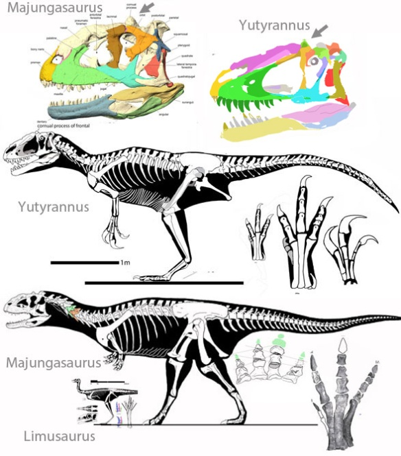 Figure 2. Yutyrannus compared to Majungasaurus and Limusaurus to scale. Note the frontal bump shared by Yutyrannus and Majungasaurus. This trait is not used in the large reptile tree. Distinctly different in many aspects, Yutyrannus and Majungasaurus nevertheless nest together with this taxon list. No doubt additional taxa will someday separate them. Limusaurus is distinctly different in most aspects, throwing doubt on that node of the Cau et al. 2015 study.