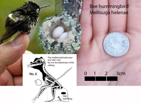 Figure 2. Smallest known bird, Bee hummingbird, compared to smallest known adult pterosaur, No. 6 (Wellnhofer 1970). Traditional workers consider this a hatchling or juvenile, but in phylogenetic analysis it does not nest with any 8x larger adults.