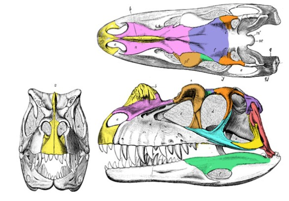 Figure 4. Ceratosaurus with extended premaxilla. It is the horn sticking up between the nasals.