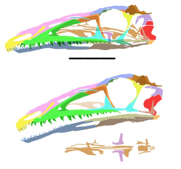Figure 4. Coelophysis skull for comparison.