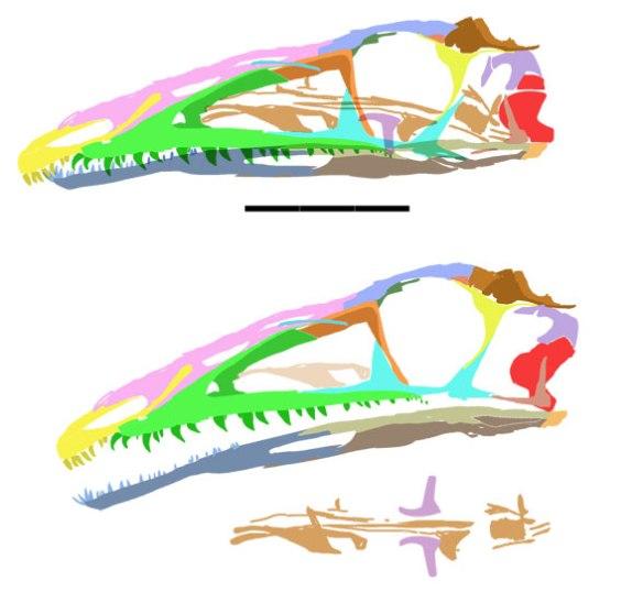 Figure 4. Coelophysis skull for comparison.