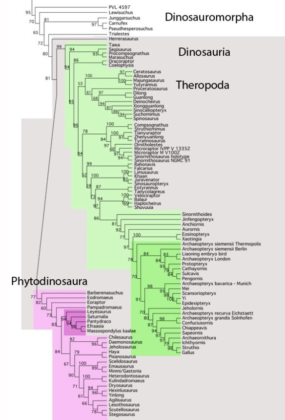 Figure 2. The Dinosauria subset of the large reptile tree as of February 5, 2016. Here Proceratosaurus nests with several former long-snouted tyrannosaurs now closer to spinosaurs and allosaurs.
