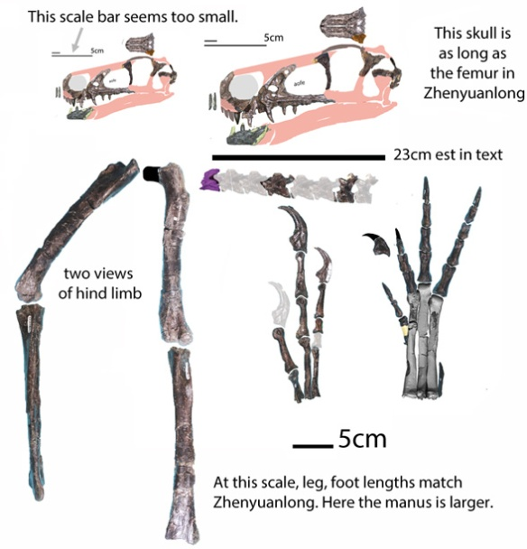Figure 1. Fukvenator parts to scale lifted from Azuma et al. 2016. Note, the larger skull, hind limb and foot match Zhenyuanlong in size and general morphology. Only the manus is relatively larger. I suspect the smaller skull scale bar.