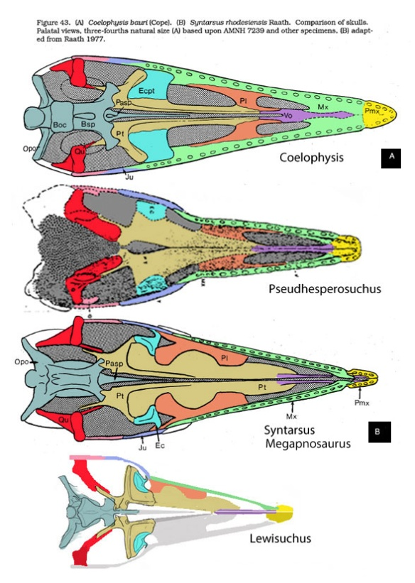 Figure 1. The palates of Coelophyis and Megapnosaurus (illustrated by Cope 1989) together with the palates of Lewisuchus and Pseudhesperosuchus in phylogenetic order based on the large reptile tree. Note the gradual evolution of the elements here and the certainty that Megapnosaurus is not congeneric with Coelophysis. The palates of Lewisuchus and Pseudhesperosuchus are evidently only partially preserved. These line drawings are the only data currently available here.