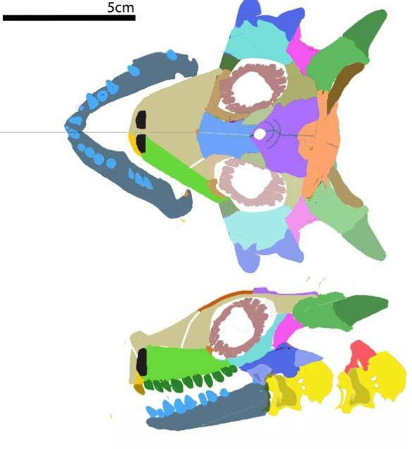 FIgure 1. Sclerosaurus face.