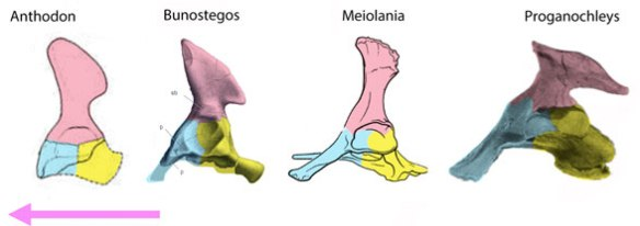 Figure 6. Turtle pelvis evolution. Here are the changes in the pelvis of pre-turtles and basal hard-shelled turtles.