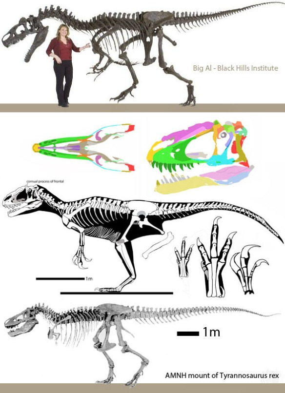 Figure 4. Yutyrannus compared to Tyrannosaurus and Allosaurus.
