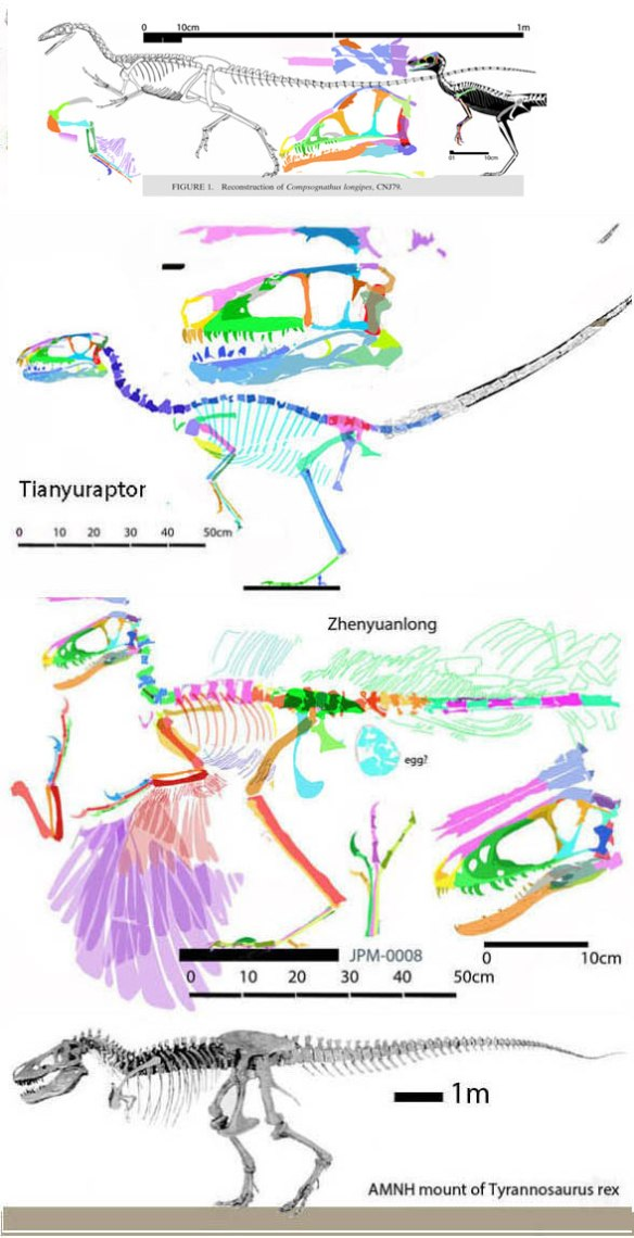 Figure 0. Taxa ancestral to tyrannosaurs beginning with the CNJ7 specimen of Compsognathus.